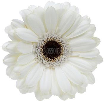 Wedding flowers gerbera wholesale gerbera daisies white gerbera daisy flower dark center mightylinksfo Choice Image
