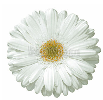White Gerbera Daisy Flower | Light Center