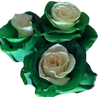 White Green Christmas Rose