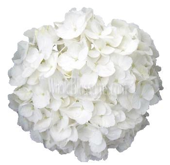 White Super Select Hydrangea Flower