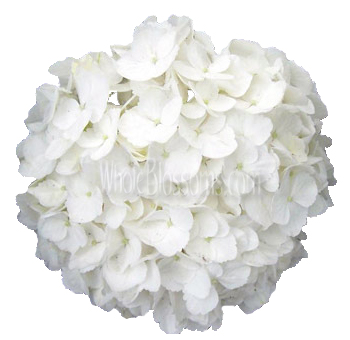 White Super Select Hydrangea Flower