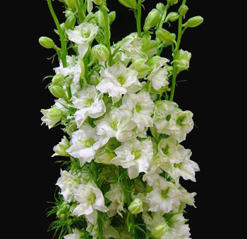 white-larkspur-flower