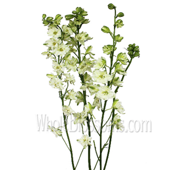 Larkspur White Flower
