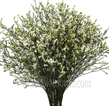 Limonium Flower White