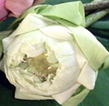Buy Fresh Cut White Lotus Flower In Bulk At Wholesale Price