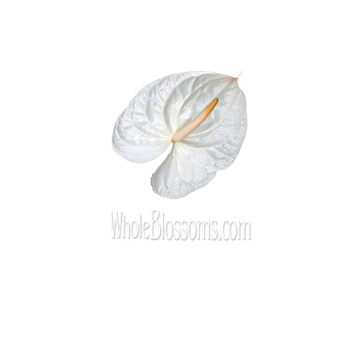 Mini White Anthurium Flower