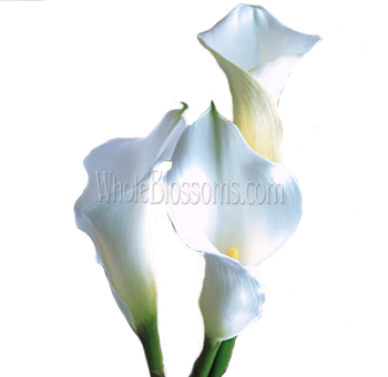 White Mini Calla Lilies - Next Day Delivery
