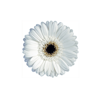 White Mini Gerberas