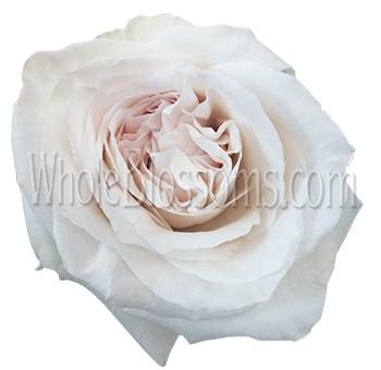 white blushing beauty garden rose - White Patience Garden Rose