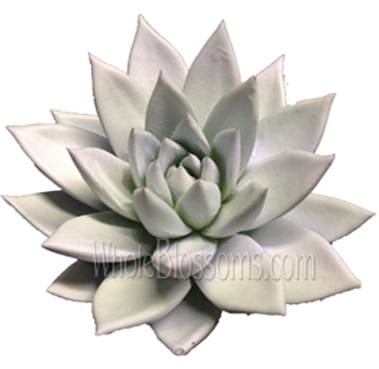 White Painted Succulent Flower