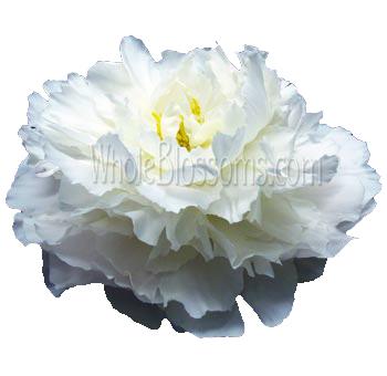 buy wholesale peony wedding flowers