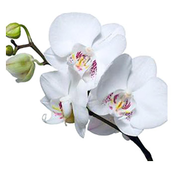 Orchid Flower Picture on Phalaenopsis Orchids   Buy Fresh Cut Phalaenopsis At Wholesale Prices