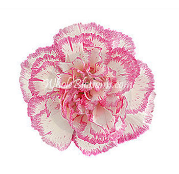 Bicolor White Pink Carnations for Valentine's Day