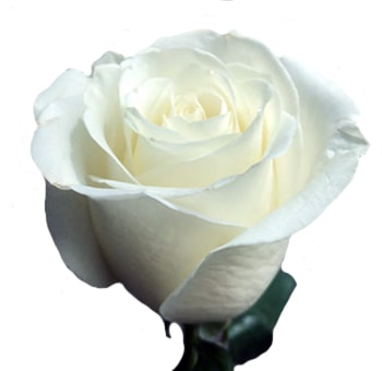 Blizzard Organic White Rose