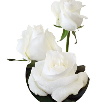 White South American Roses