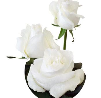 Buy white south american roses for wedding white ecuadorian roses mightylinksfo
