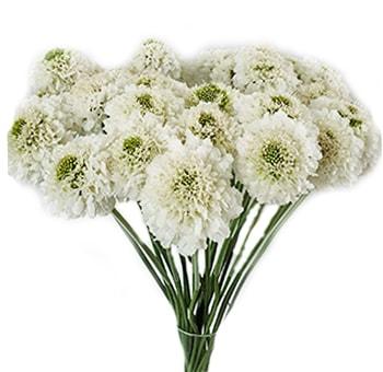 Buy Wholesale White Scabiosa Flower for Weddings