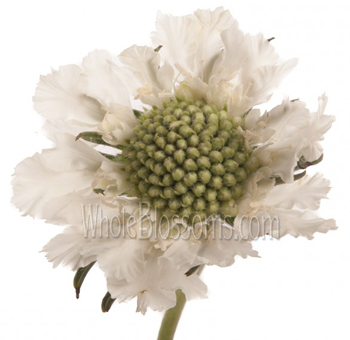 Scabiosa Flower White