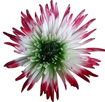 White Spider Mums Green Center and Red Tips