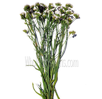 Tissue culture white statice flower at wholesale price white statice filler flower mightylinksfo