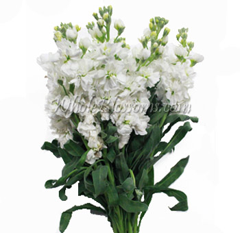 Cream White Stock Flower