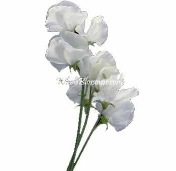 White Sweet Peas Flowers