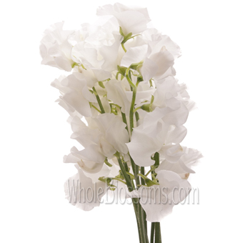 Sweet Pea White Flower