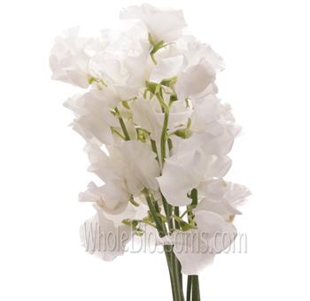 Sweet pea white flower at wholesale sweet pea white flower mightylinksfo Gallery