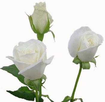White Sweetheart Roses