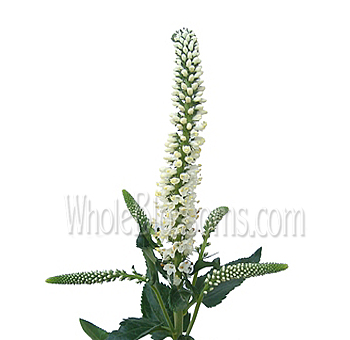 white-veronica-wholesale-online