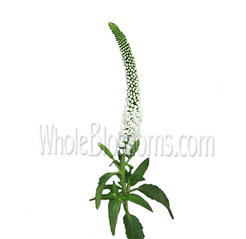 Veronica White Flower