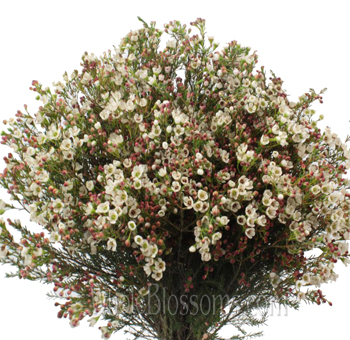 White Waxflowers