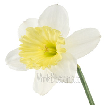 Daffodil White Flowers with Yellow Lip