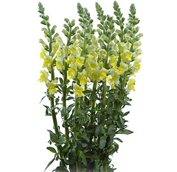 Yellow Snapdragon Flower