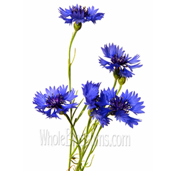 wholesale-blue-cornflower