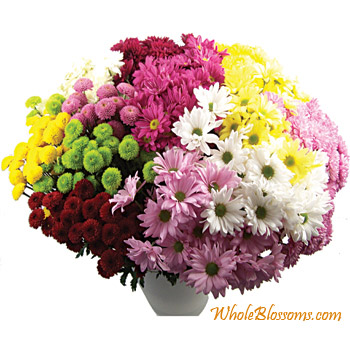 CDN POM Chrysanthemum Flowers