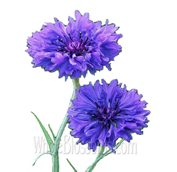 Wholesale Cornflower