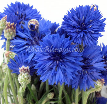 wholesale-cornflower
