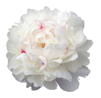 Festiva Maxima White Peony Flowers