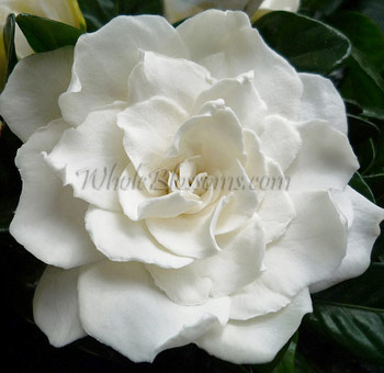 Bulk gardenia flower at wholesale prices gardenia flowers mightylinksfo