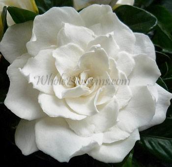 Bulk Gardenia Flower At Wholesale Prices