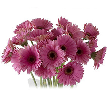 Wholesale Mini Gerbera Daisy Flower
