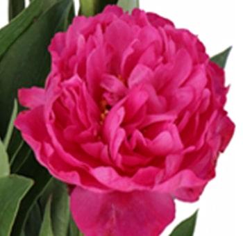 Hot Pink Peony