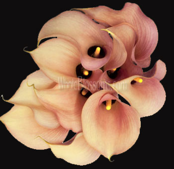 Mini Calla Lily Peach Flower