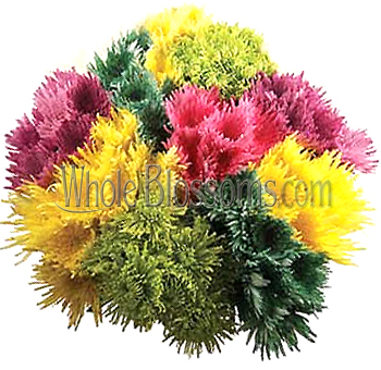 Flower Preservation on Spider Mums Colors
