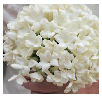 Wholesale Stephanotis Flowers