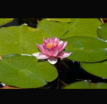 Water Lily Pad
