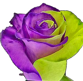 Wizard Of Oz Green Purple Roses