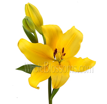 Yellow Asiatic Lily Flowers