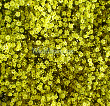 Valentine's Day Yellow Baby's Breath